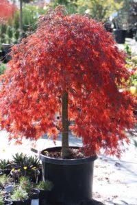 Acer Palmatum Crimson Queen Japanese Maple Vivero