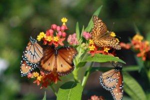 Butterflies on Butterfly Weed