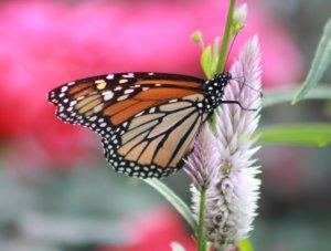 Monarch butterfly Vivero Growers Nursery Austin TX